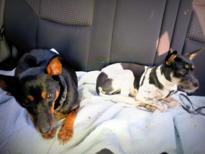 webby and hoochoo in the car
